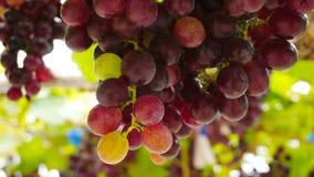Vignobles dans la récolte Photographie stock