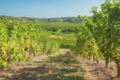 Vignobles dans la vallée de la Moselle chez Stadtbredimus images stock