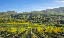 Vignobles dans le Toscan Images libres de droits