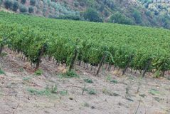 Vignobles de chianti photo libre de droits