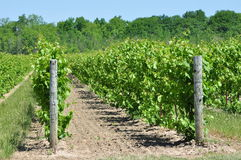 Vignobles de raisin Photo stock