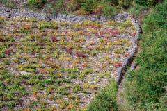 Vignobles de raisin de Mencia Images libres de droits