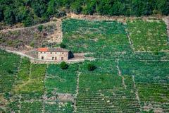 Vignobles de raisin de Mencia dans les sacrum de Ribeira Photographie stock