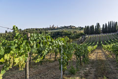 Vignobles de Vernaccia sur les collines de Sienne en Toscane Image libre de droits