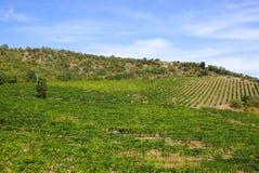Vignobles en Crimée Paysage d'été avec un arbre isolé photo libre de droits