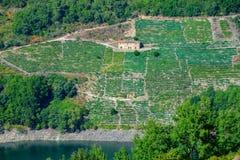 Vignobles et établissements vinicoles de raisin de Mencia Image libre de droits
