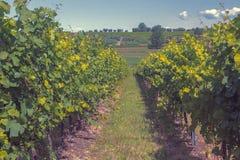 Vignobles et collines de Langhe en été photo libre de droits