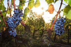 Vignobles et vigne au coucher du soleil Images libres de droits