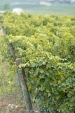 Vignobles noirs de raisin photo stock