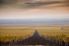Vignobles pendant l'automne Photos libres de droits