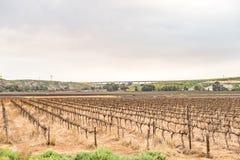Vignobles près de Vredendal Photos libres de droits