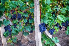 vignobles tchèques de Moravie photos libres de droits