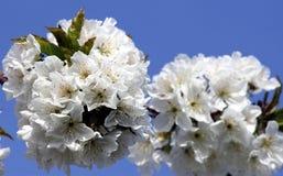 vignola,摩德纳樱桃开花的分支  免版税库存照片