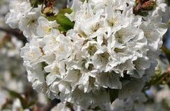 vignola,摩德纳樱桃开花的分支  库存图片