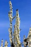 vignola,摩德纳樱桃开花的分支  库存照片