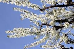vignola,摩德纳樱桃开花的分支  免版税图库摄影
