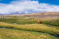 Vigogna e alpaca che pascono, riserva nazionale delle vigogna di Las (Cile) Fotografia Stock
