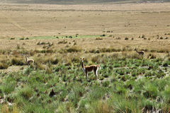Vigogna nelle Ande del Perù Fotografie Stock Libere da Diritti