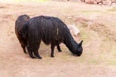 Vigogna peruviana. Fotografie Stock Libere da Diritti