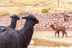 Vigogna peruviana. Azienda agricola del lama, alpaga, vigogna nel Perù, Sudamerica. Fotografia Stock