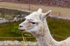 Vigogna peruviana. Azienda agricola del lama, alpaga, vigogna nel Perù, Sudamerica. Animale andino. Fotografia Stock