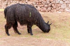 Vigogna peruviana. Azienda agricola del lama, alpaga, vigogna nel Perù, Sudamerica. Animale andino. Fotografie Stock