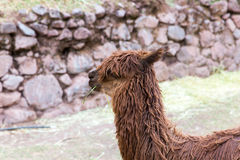 Vigogna peruviana. Azienda agricola del lama, alpaga, vigogna nel Perù, Sudamerica. Animale andino. Immagine Stock