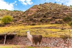 Vigogna peruviana. Azienda agricola del lama, alpaga, vigogna nel Perù, Sudamerica. Animale andino. Fotografie Stock Libere da Diritti