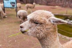 Vigogna peruviana. Azienda agricola del lama, alpaga, vigogna nel Perù, Sudamerica. Animale andino. Immagine Stock Libera da Diritti