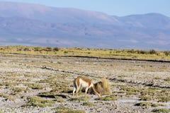 Vigogna in saline Grandes in Jujuy, Argentina Fotografia Stock