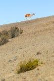 Vigogna selvaggia sul deserto andino Immagine Stock Libera da Diritti