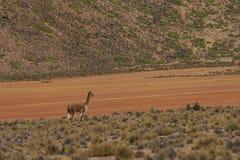Vigogna sul Altiplano, Cile Immagini Stock Libere da Diritti