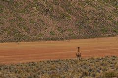 Vigogna sul Altiplano, Cile Fotografia Stock Libera da Diritti