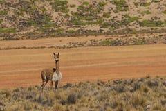Vigogna sul Altiplano, Cile Fotografia Stock