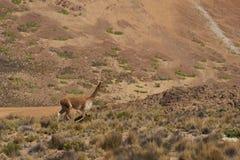 Vigogna sul Altiplano, Cile Immagine Stock Libera da Diritti