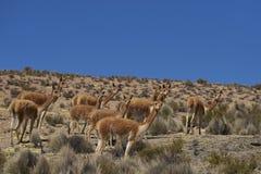 Vigogna sul Altiplano nel parco nazionale di Lauca, Cile fotografie stock libere da diritti