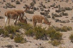 Vigogna sul Altiplano nel parco nazionale di Lauca, Cile fotografia stock libera da diritti
