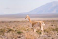 Vigogna (vicugna) di Vicgna Camelid da Ameri del sud Fotografie Stock