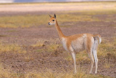 Vigogna (vicugna) di Vicgna Camelid da Ameri del sud Fotografia Stock