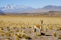 Vigogne l'Altiplano - au Chili Photos stock