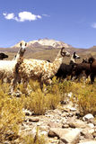 Vigognes Salar de Uyuni, Bolivie Images stock