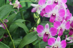 Vigore orientale 1 del Dendrobium Fotografie Stock