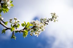 Flowering almond branch, growing towards the blue sky royalty free stock photos