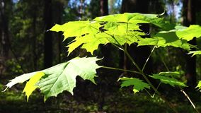 Maple sprig in summer forest. The vigorous confident rays of the summer sun are illuminating the young maple sprig and bright green leaves stock video