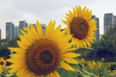 Vigorous sunflower Royalty Free Stock Photos