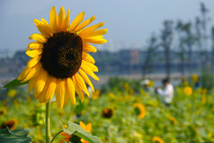 Vigorous sunflower. Plant、flowers、sunflower、dynamic、life Royalty Free Stock Photography