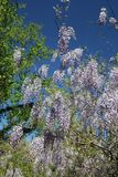 Flourishing purple wisteria in full bloom. This vigorous vining plant may surprise some, with its late-spring crop of abundant, fragrant blooms. The opulent royalty free stock photo