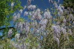 Flourishing purple wisteria bush in full bloom. This vigorous vining plant may surprise some, with its late-spring crop of abundant, fragrant blooms. The opulent royalty free stock photography