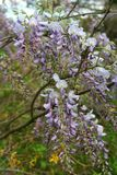 Detail of purple wisteria in full bloom. This vigorous vining plant may surprise some, with its late-spring crop of abundant, pea-flower shaped fragrant blooms stock image
