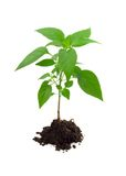 Vigorous young plant. In a pile of rich soil - isolated stock images